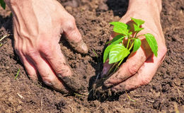 Dirty and muddy of male hands and plant Royalty Free Stock Images