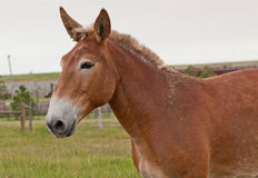 Dirty Mule. A brown mule who recently rolled in mud and dirt stands for a profile picture on the farm Stock Images