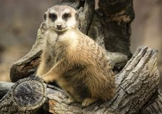 Dirty Nose Meerkat Royalty Free Stock Photography