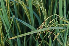 Dirty panicle disease on rice Stock Image