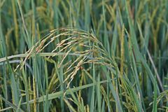Dirty panicle disease on rice Stock Photography