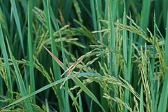 Dirty panicle disease on rice Royalty Free Stock Photo