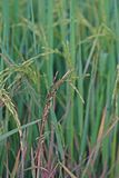 Dirty panicle disease on rice Royalty Free Stock Images