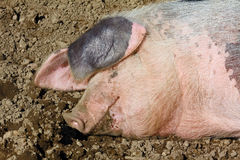Dirty pig. Is laying in the mud stock image