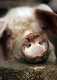 Dirty Pig. Dirty the pig in a shelter close-up Stock Images