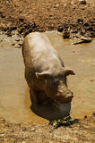 Dirty Pig. A dirty stinky pig in the mud Stock Photo