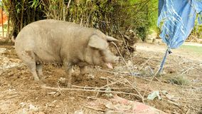Dirty pig, mud pig looking for food, pig feeds. Two pigs tied to a tree looking for food on the ground stock video footage