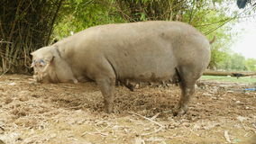 Dirty pig, mud pig looking for food, pig feeds. Two pigs tied to a tree looking for food on the ground stock video