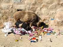 Dirty pig in rubbish Royalty Free Stock Photography