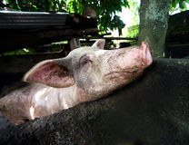 Dirty Pig. Dirty the pig in a shelter Royalty Free Stock Image