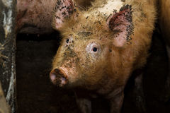 Dirty pig on a traditional farm Royalty Free Stock Image