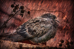 Dirty pigeon sitting in bad weather Royalty Free Stock Photos