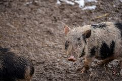 A dirty piglet looking from the snowy mud. Dirty piglet looking from the snowy mud Royalty Free Stock Image
