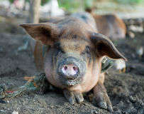 Dirty pigs Stock Photo