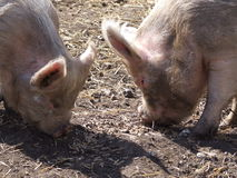 Dirty Pigs Feeding Royalty Free Stock Image