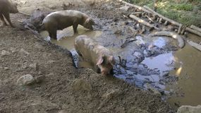 Dirty pigs in mud Royalty Free Stock Photography