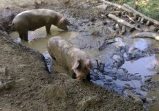Dirty pigs in mud Stock Images