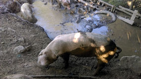 Dirty pigs in mud Stock Photography