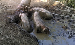 Dirty pigs in mud Royalty Free Stock Photos