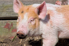Dirty pigs muzzle. Dirty young with ground pigs muzzle closeup Royalty Free Stock Image