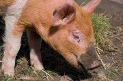 Dirty pigs muzzle Stock Photos