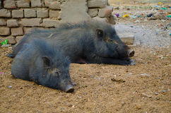 Dirty Pigs in slum in Gaya India Stock Photos