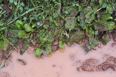 Dirty plantain. Plantain stained and spattered with mud flying from under the wheels of passing cars beside the claim road Royalty Free Stock Photo