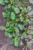 Dirty plantain Royalty Free Stock Photo