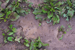 Dirty plantain Stock Photo