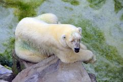 Dirty Polar Bear on a Rock Stock Photo