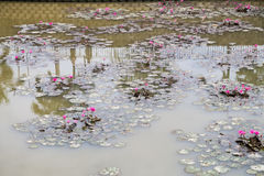 Dirty polluted pond with dying lotus water plant Stock Photos