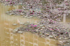 Dirty polluted pond with dying lotus water plant Royalty Free Stock Photo