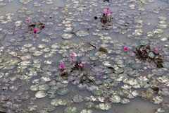 Dirty polluted pond with dying lotus water plant Royalty Free Stock Photos
