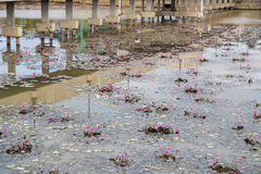 Dirty polluted pond with dying water lily plant Stock Images