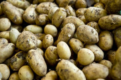 Dirty Potatoes Royalty Free Stock Photo