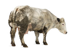 Dirty pregnant Belgian blue cow, isolated Stock Images