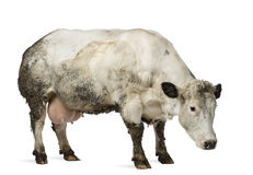 Dirty pregnant Belgian blue cow, isolated Royalty Free Stock Photo
