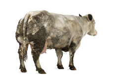 Dirty pregnant Belgian blue cow, isolated Stock Photos