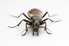 Dirty programming bug. Macro photo of a dirty ground beetle. Isolated on white stock images