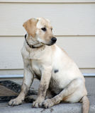 Dirty puppy wants to come in. Very dirty yellow lab / retriever puppy sits on the steps wanting to come in the house Royalty Free Stock Images