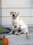 Dirty puppy wants to come in. Very dirty yellow lab / retriever puppy sits on the steps wanting to come in the house Stock Images