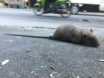 Dirty rat. On road in morning royalty free stock image