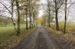 Dirty road in autumn rainy weather, birch alley in Chotebor. Town surrounding, fall season Stock Photos