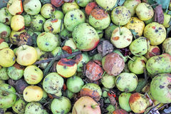 Dirty and rotten apples Stock Images