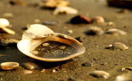 Dirty Sea Shells on the ocean Stock Photography