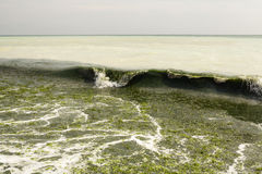 Dirty sea water full of seaweed royalty free stock photos