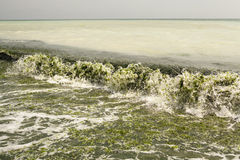 Dirty sea water full of seaweed Stock Photography