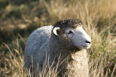 Dirty sheep Royalty Free Stock Images