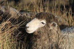 Dirty sheep stock image