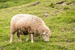 Dirty Sheep Grazing On A Grassy Hillside Royalty Free Stock Photography